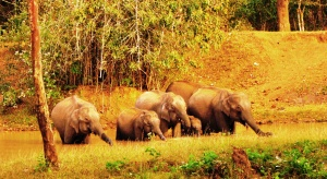 Let's drink to that: Elephants in Nagarhole National Park