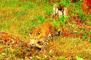 Spotted: Leopard in Nagarhole National Park near Lake Kabini