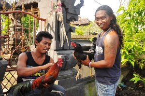 Mine's prettier than yours: Balinese men and their roosters. Ayam bagus!